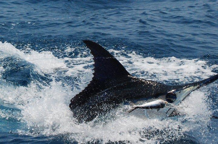 Guatemala Blue Marlin