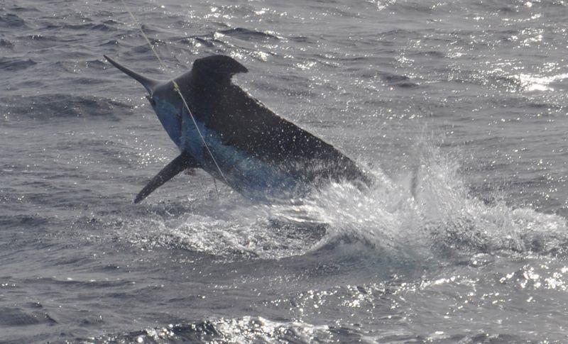 2013 Billfisheries of the Year – #2 Cape Verde Islands