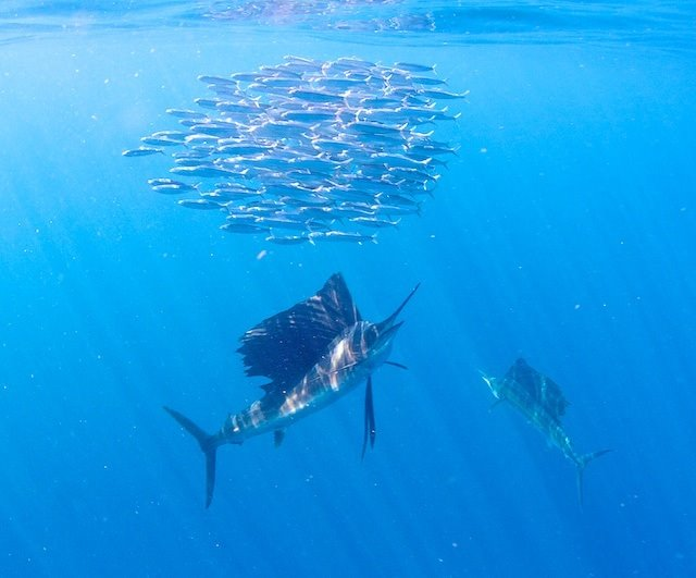 Slow Sailfishing in Isla Mujeres?
