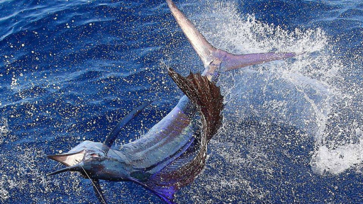 2016 Billfisheries of the Year – #1 Guatemala