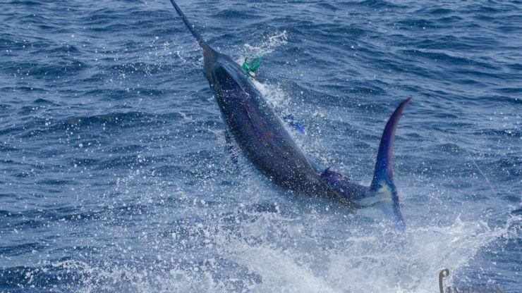 2016 Billfisheries of the Year – #3 Cape Verdes